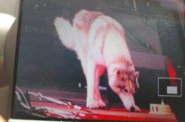 Волк вфан-зоне вПетербурге отказался есть корм