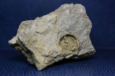 Петербурженка нашла наберегу Тосны окаменелости гигантского моллюска