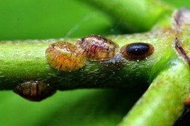 Трупики вредителей нашли впартии авокадо изПеру