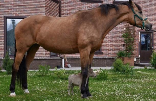 Живую лошадь размером скота привезут вПетербург