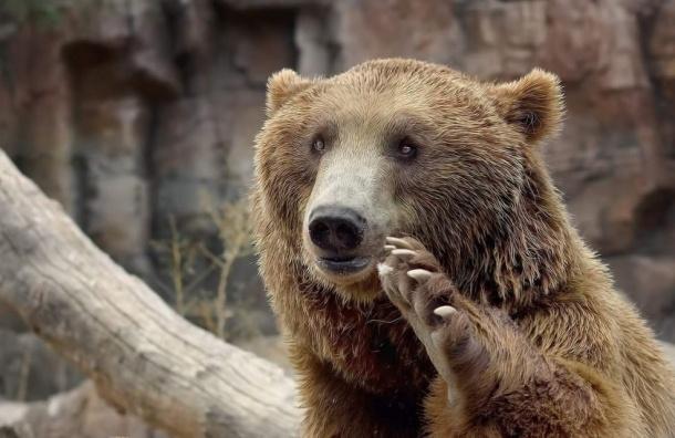 Медведей могут признать стратегическим ресурсом России
