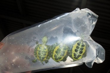 Петербургские лягушки ичерепахи улетели вХабаровский край