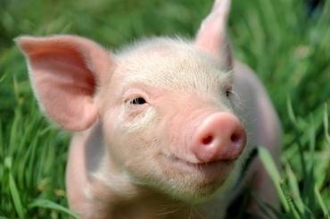 ВНовгороде зафиксировали вспышку африканской чумы свиней