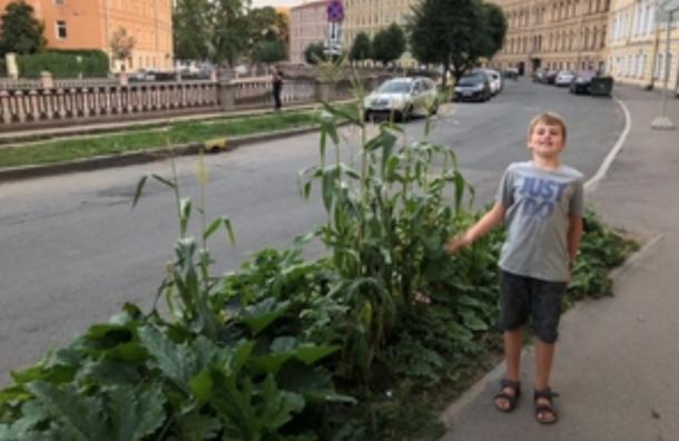 Кукуруза созрела нанабережной вПетербурге