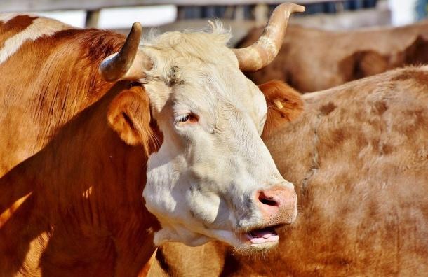 Пристав сыграл роль риелтора ипереселил 11 коров