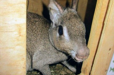 Две чаоканские мары прошли ветеринарный контроль вПетербурге