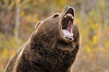 Цирковой медведь бродит поЛенобласти