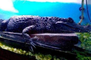 Петербуржцы продают занесенного вКрасную книгу крокодила