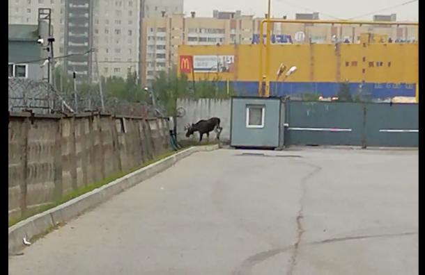 Петербуржцев предупредили онашествии лосей