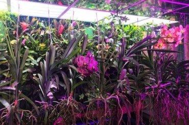 Орхидея Ванда расцвела вЛенинградском зоопарке