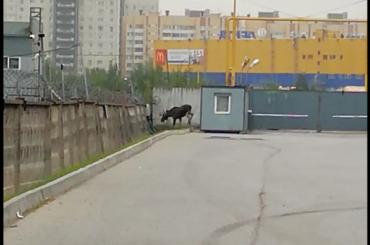Лось гуляет попромзоне вПетербурге