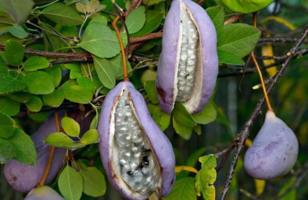 Петербургский Россельхознадзор вернул вТаиланд семена тропических лиан