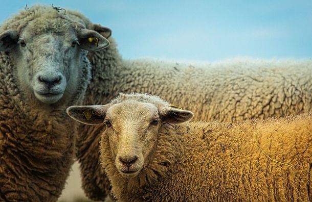 Подкинутых «Новой газете» овец отправили вприют под Москвой