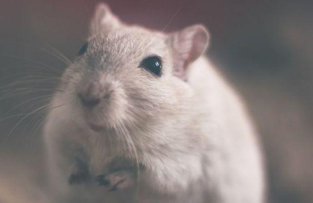 Крыса ела творог вгатчинском гипермаркете «О'кей»
