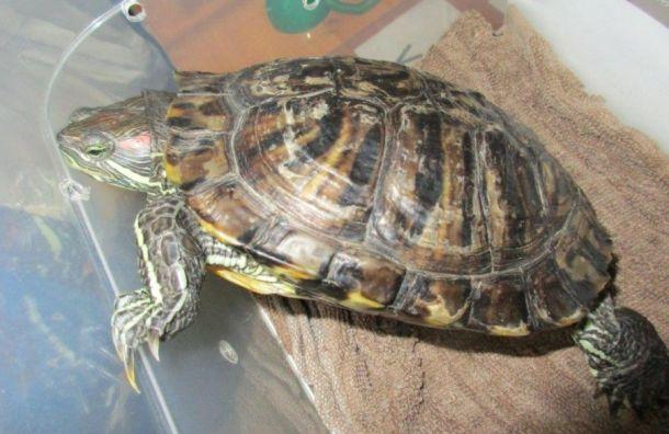 Красноухую черепаху после досмотра выпустили изПетербурга