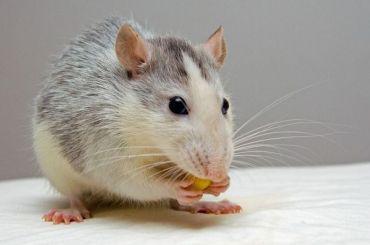 Активисту позвонили полицейские из-за крыс вЗакСе