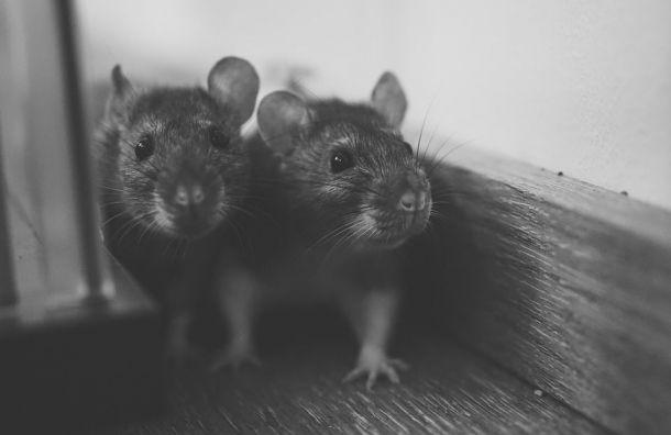 Крыс заставят соревноваться вПетербурге