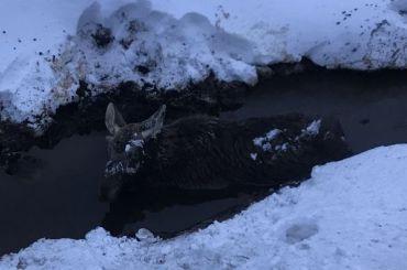 «Лежит вканаве»: лося сбили вЛенобласти
