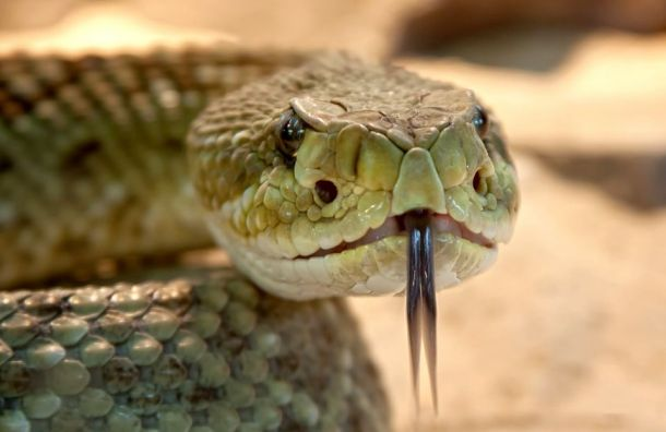 Россиянам могут запретить держать дома ядовитых змей ипауков