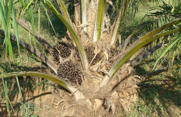 Ввоз пальмового масла вРоссию впервые превысил миллион тонн