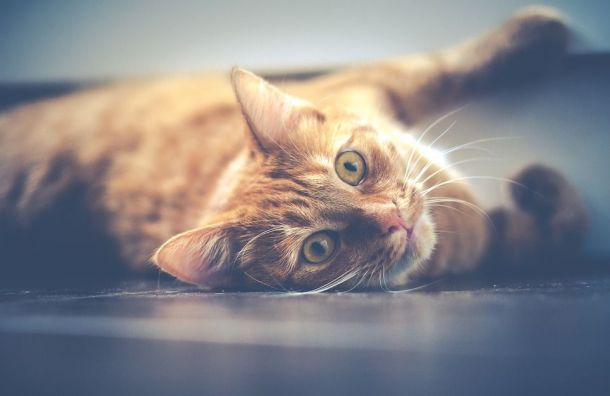 Кошка провела три дня запертой вхостеле Сестрорецка