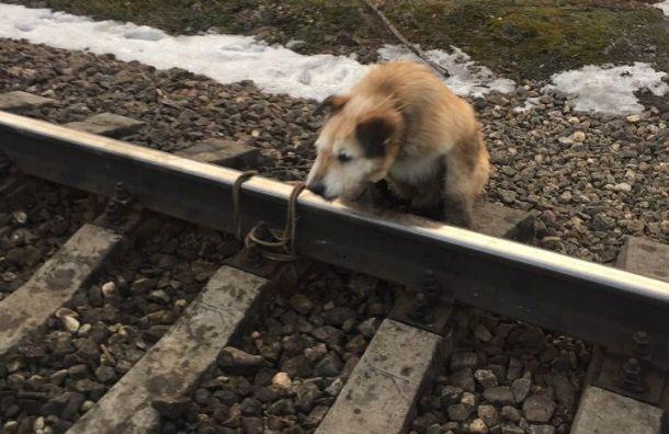 Машинист остановил поезд, чтобы спасти привязанную крельсам собаку