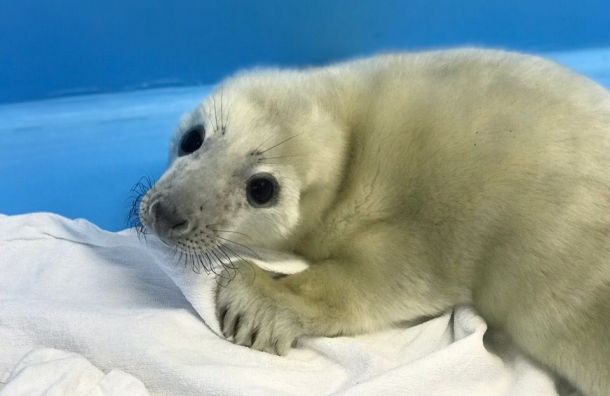 Тюленя-потеряшку нашли наберегу Финского залива