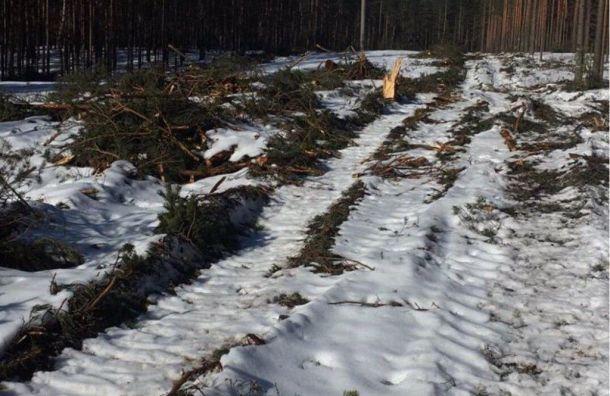 Прокуратура проверит вырубку леса вГладышевском заказнике