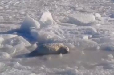 Тюлени могут пострадать после шторма вФинском заливе