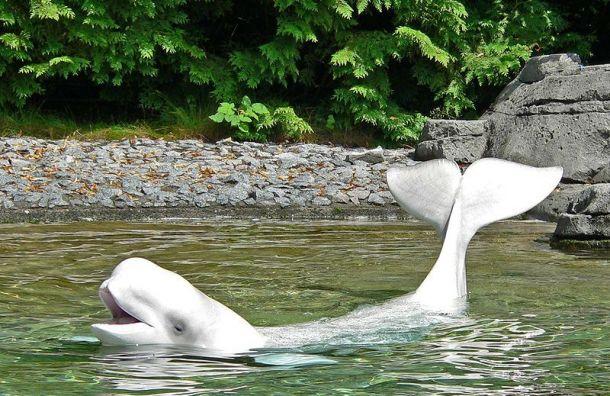 Норвежские рыбаки поймали «кита-шпиона» изПетербурга