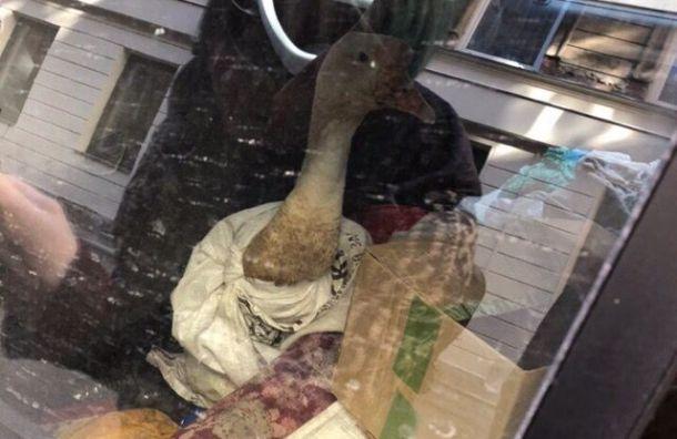 Петербуржцы пытались спасти запертого вмашине гуся