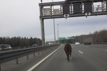 Петербуржцы заметили наКАД заплутавшего быка