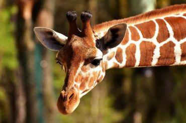 Жирафиха изЛенинградского зоопарка впервые вышла наулицу после зимы