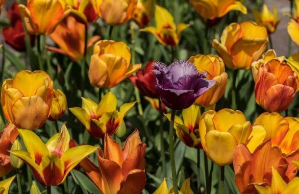 Фестиваль тюльпанов ждет петербуржцев ввыходные
