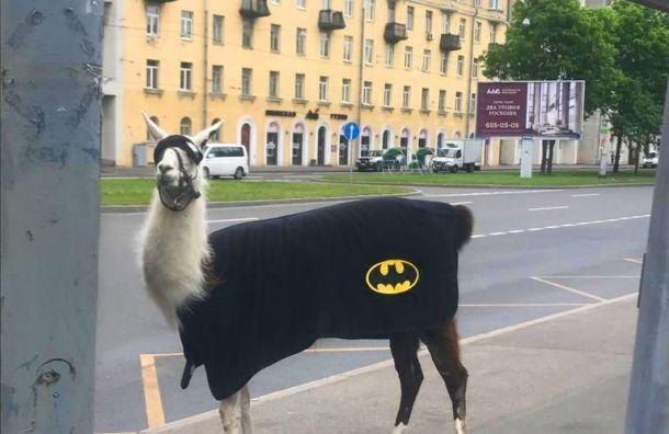 Лама-супермен вкостюме Бэтмена гуляла поПетербургу