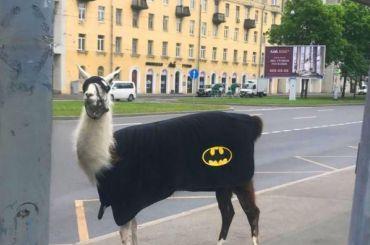 Лама-супермен вкостюме Бэтмена гуляла поПетербурга