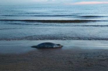 Мертвого тюленя нашли упансионата «Дюны»
