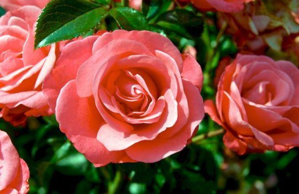 Розы изДонбасса посадят впарке Победы