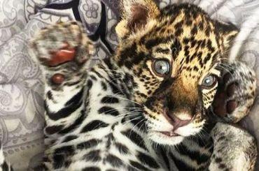 Малыша леопарда продают вПетербурге за320 тысяч рублей