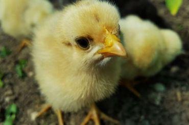 Пять тысяч немецких цыплят доставили вПулково