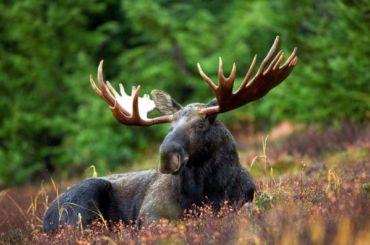 Водитель погиб натрассе «Скандинавия» из-за дважды сбитого лося