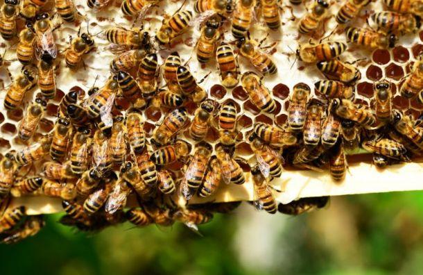 Минэкономразвития обвинили вмассовой гибели пчел