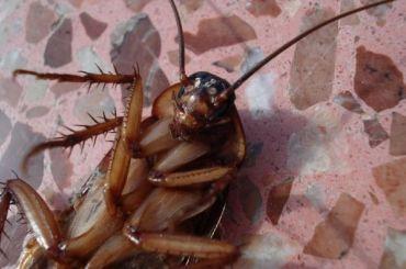 Роспотребнадзор нашел тараканов вресторане, где отравились китайцы