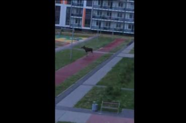 Подетской площадке вМурине бегал лось