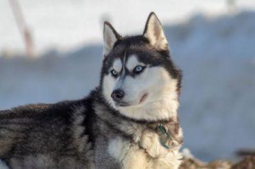 Хозяин хаски объяснил, зачем прицепил собаку кмопеду