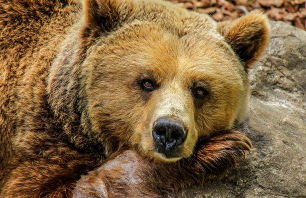 Медведя заметили рядом сжилыми домами вгороде Мурино