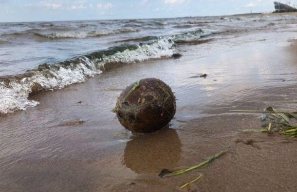 Посылка из южных стран: в парк 300-летия приплыл кокос