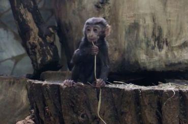 Ленинградский зоопарк назвал победителя конкурса наимя черной макаки