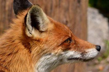 Жители Сестрорецка встретили лису попути наэлектричку