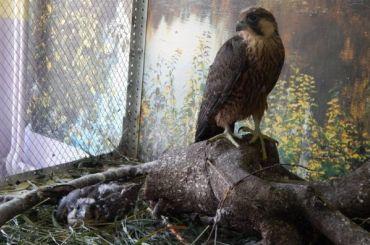 Петербуржец выкрал редких птиц соскалы вКоми